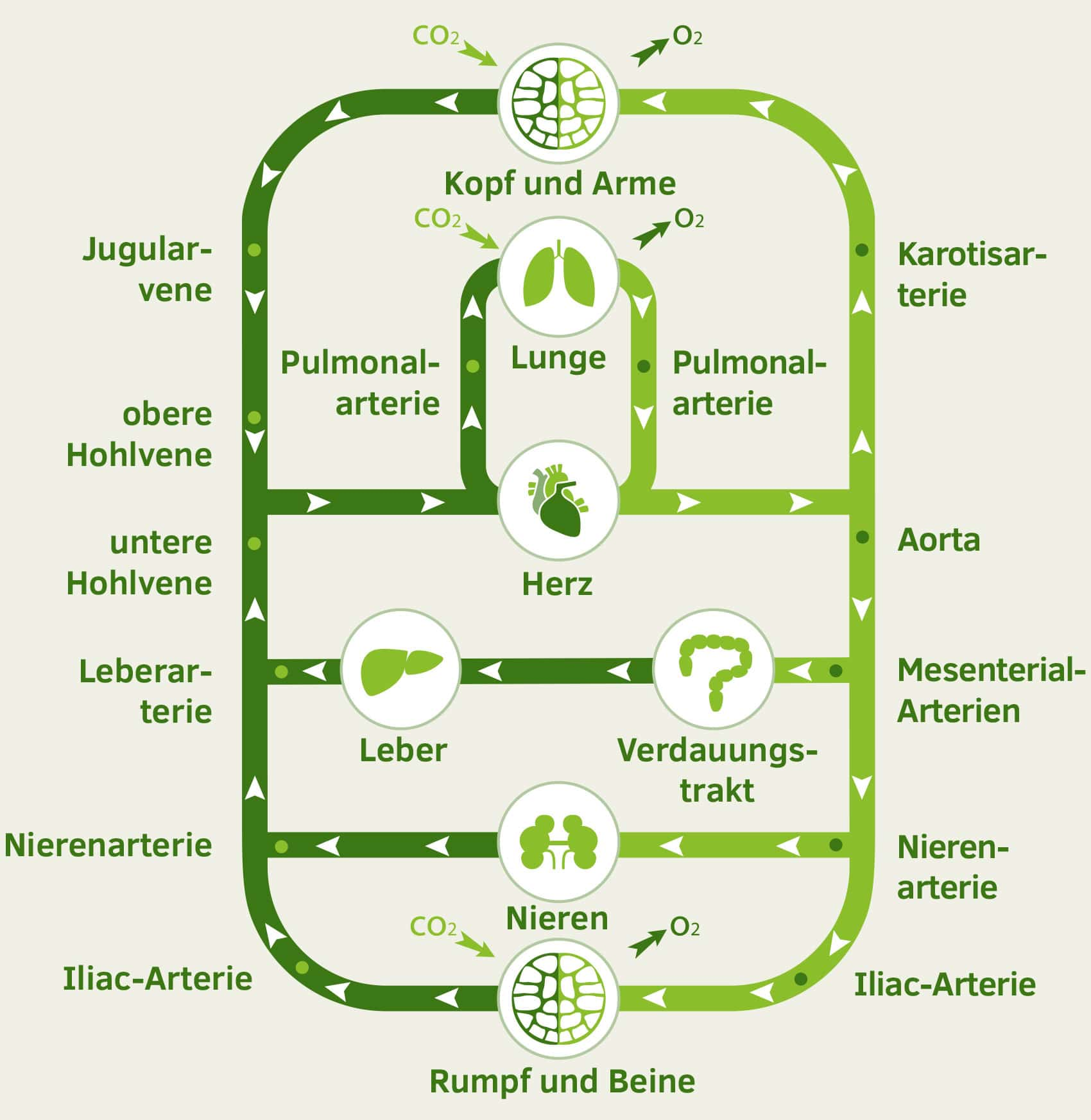 Herz-Kreislauf-System Infografik